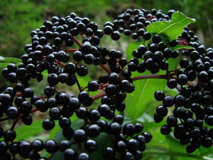 Лечебные свойства черной бузины