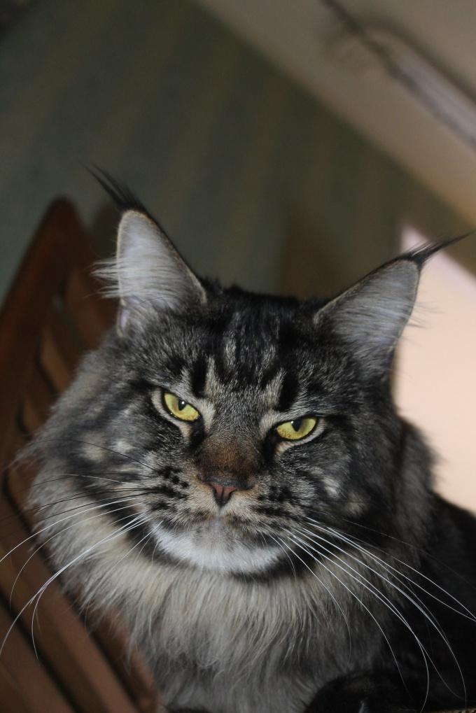 Племенной кот породы мейн-кун из питомника кошек