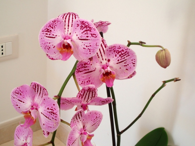 Learn to care for orchids in a pot at home