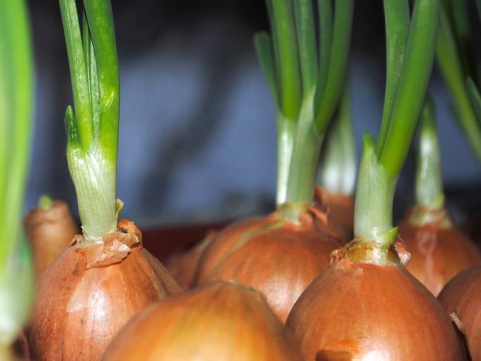 Выращиваем лук на зелень к Новому году: легко и просто