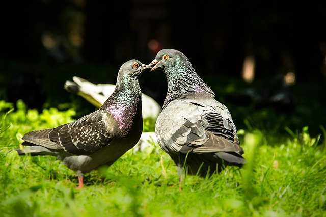 Folk omens and superstitions about pigeons