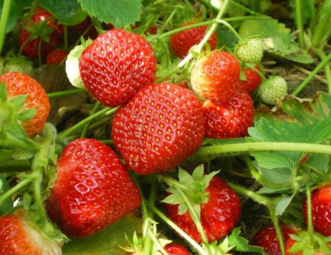 Выращивание земляники садовой Ягодные культуры