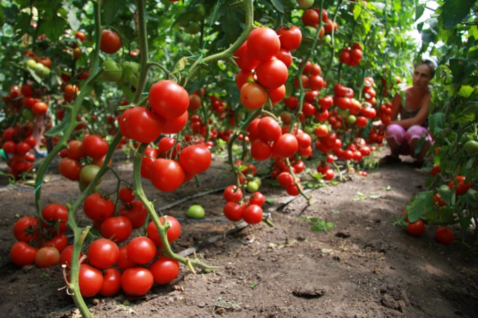 Methods of increasing yields of tomatoes