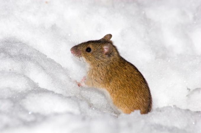 Как бороться с мышами экологически чистыми способами