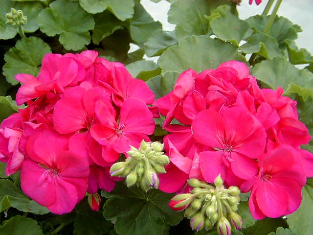 Why do geranium dry leaves