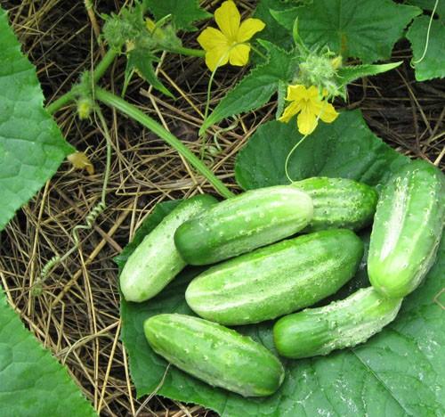 How to grow cucumbers on a warm ridge