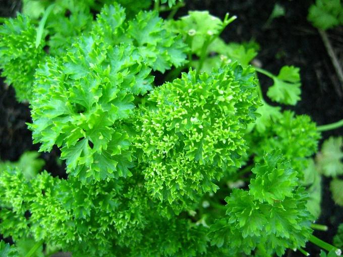 Прима зеленых овощей – петрушка