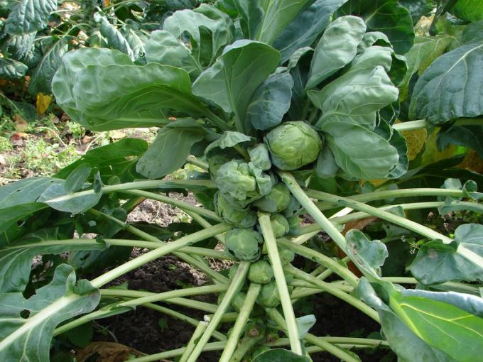 Почему не выросла брюссельская капуста