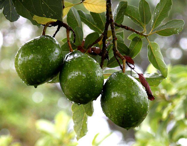 авокадо дерево фото
