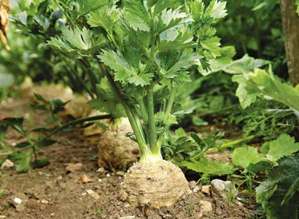 Почему не вырастают крупные корнеплоды у корневого сельдерея