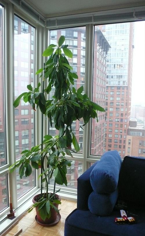 Как лучше посадить авокадо