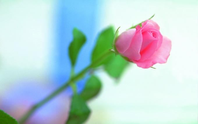 Как сделать розу из фоамирана своими руками