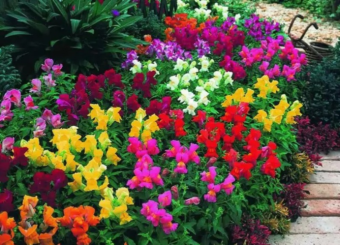 Разновидность садовых цветов