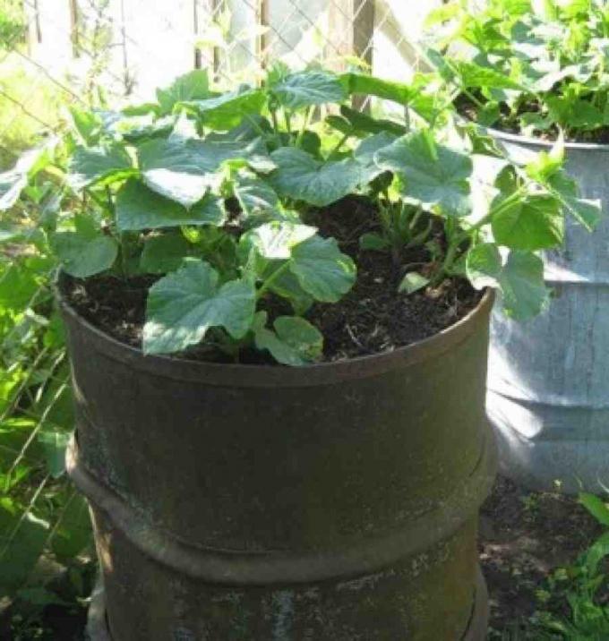 Бочковые огурцы - способ выращивания