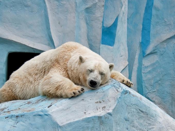 Белый медведь: интересные сведения