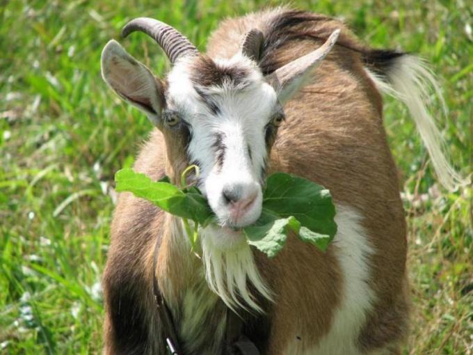 Свежая трава - настоящее лакомство для козы