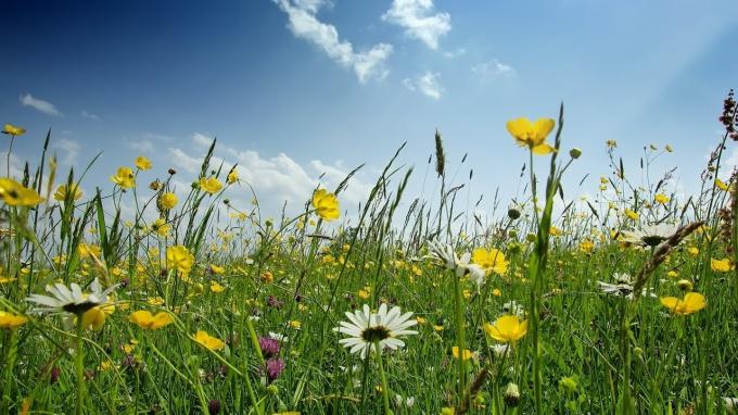 Цветущее поле не только радует глаз, но и может оказаться настоящей природной аптекой