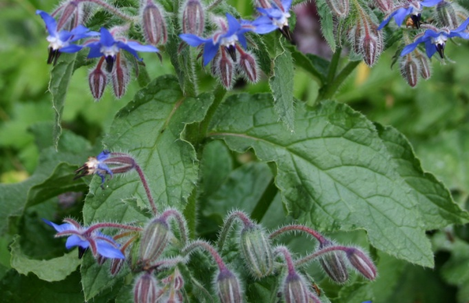 Borago or borage: a growing and useful properties