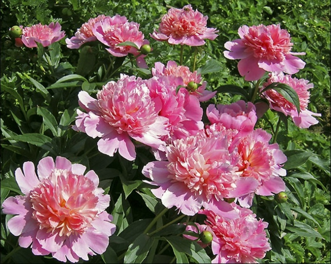 Как вырастить красивый куст пионов как вырастить куст ... Перегной из Листьев