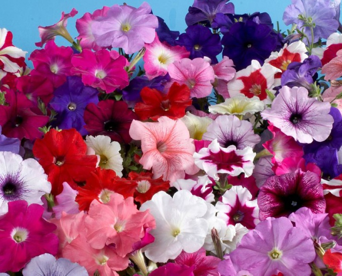 What fertilizers to feed petunias