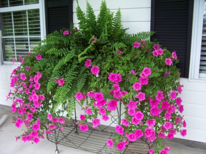 How to pinch back petunias
