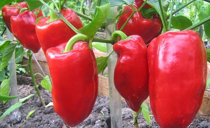 Чтобы вырастить хороший перец, необходима правильная агротехника