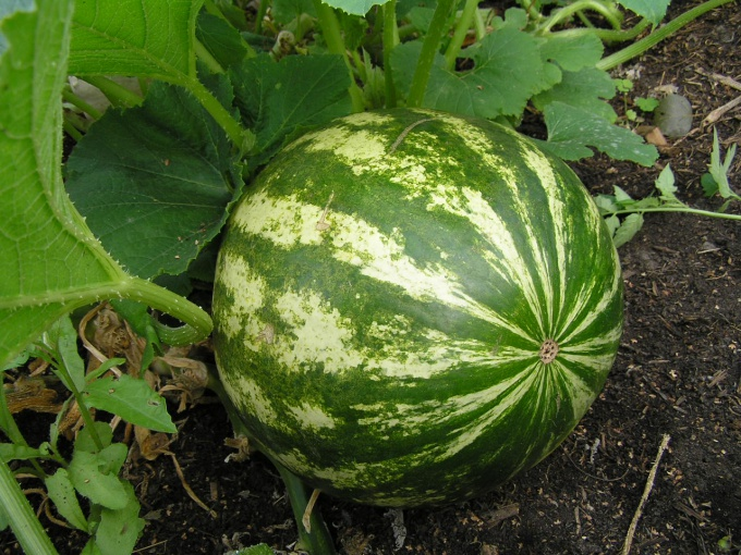watermelons in the country
