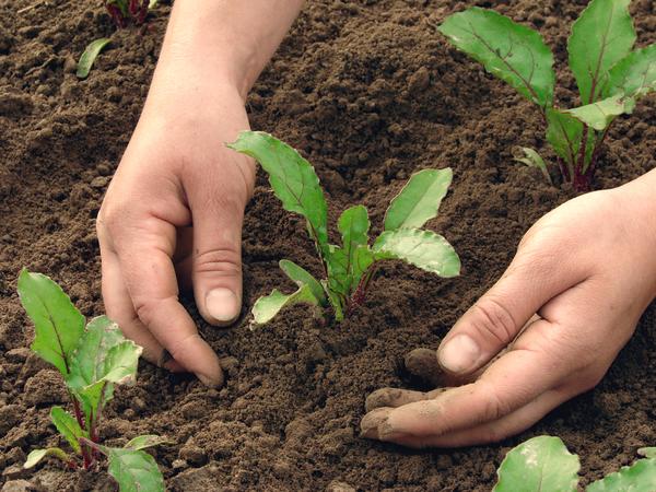 Как правильно садят или сажают овощи 11