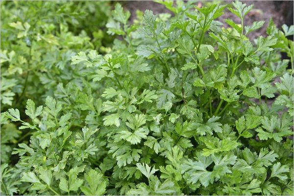How to grow parsley: planting and care
