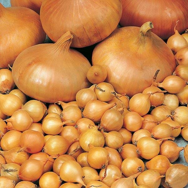 Как подготовить лук-севок к посадке