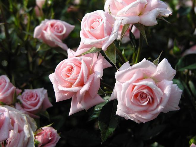 Выбор посадочного материала и место посадки роз