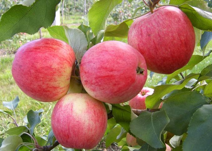 В саду необходимо высаживать яблони разных сроков созревания