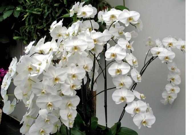Как ухаживать за орхидеей дома