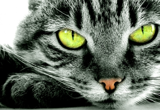 Почему нельзя смотреть кошке в глаза: мистика и реальность
