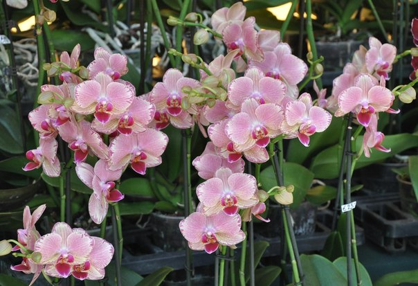 Болезни орхидей и их лечение