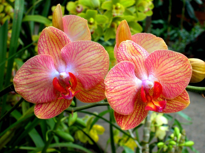Why leaves turn yellow orchids