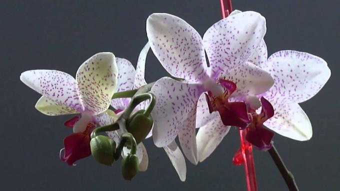 Как действовать, если орхидея отцвела