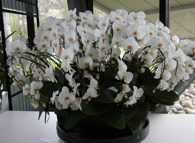 Как размножаются орхидеи в домашних условиях