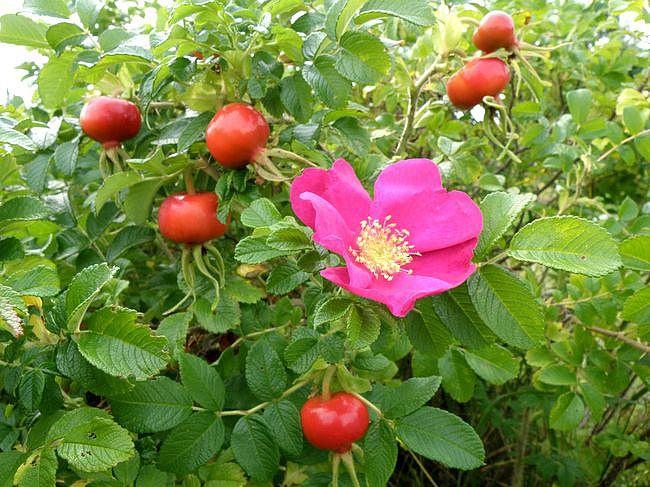 шиповник с цветением