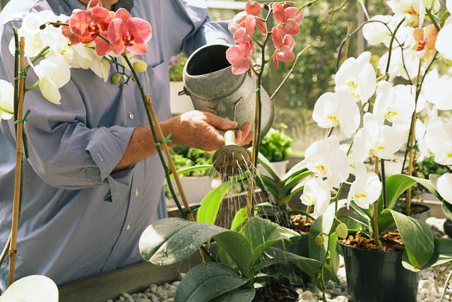How to water orchids in the home