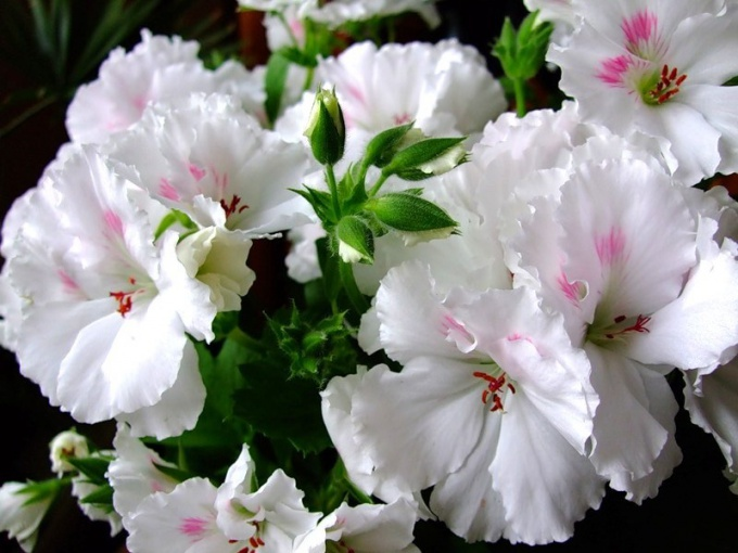 The care of the Royal geraniums at home
