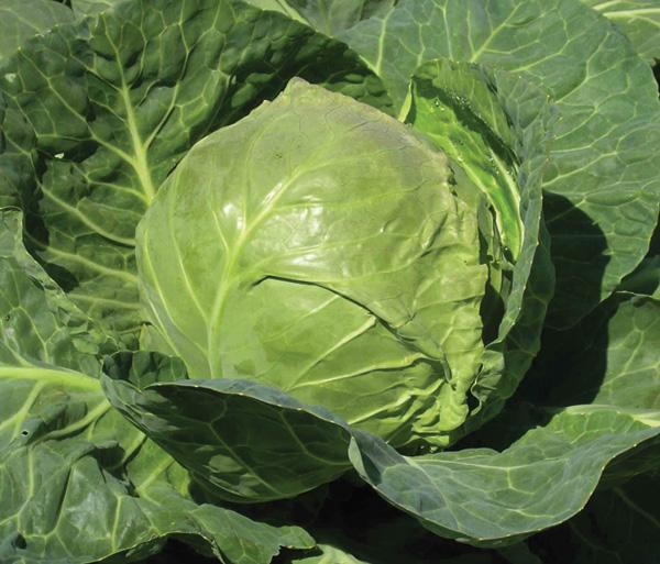 Как получить высокий урожай капусты в жаркое лето