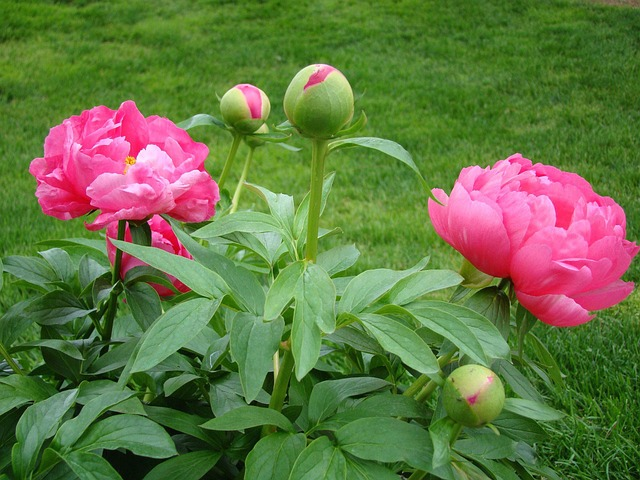 Why curl the leaves of peonies