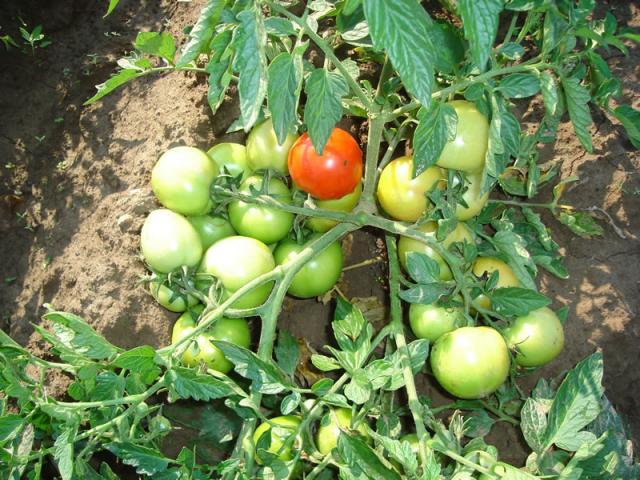 Нужно ли окучивать помидоры