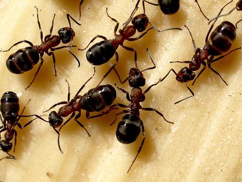 Домашние муравьи: как избавиться от муравьев в квартире