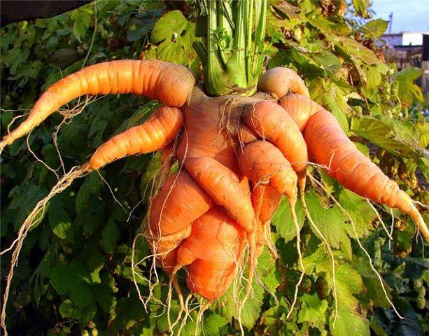 Почему морковь рогатая и корявая