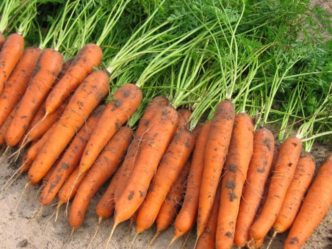 Когда убирать морковь с грядки