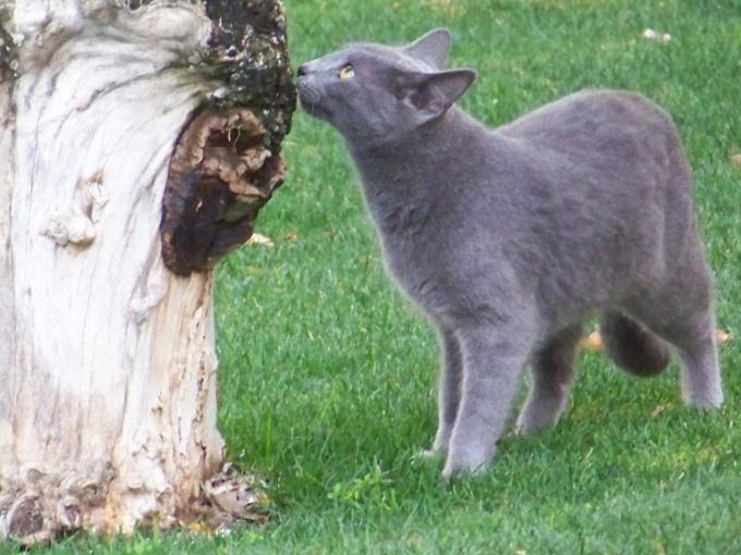 Русская голубая кошка: особенности породы