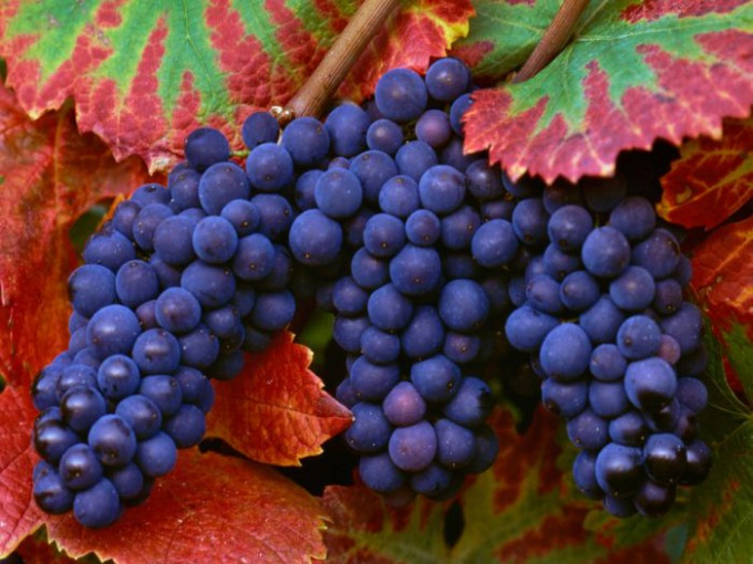 How to care for grapes in the summer