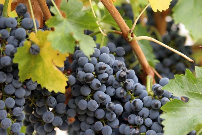 Как правильно обрезать виноград летом и осенью
